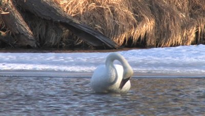 Trumpeter Swan Standing Next to Snow Covered River Bank, Fluffs Feathers on Chest