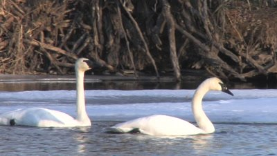 Trumpeter Swan Pair Floating on Winter River