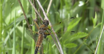 Four Spotted Skimmer Dragonfly Perched on Stem, Looking Up, Around, For Prey