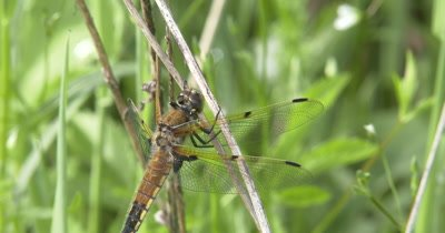 Four Spotted Skimmer Dragonfly, Suddenly Looks Around, Down, Hunting