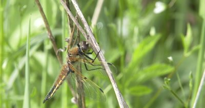 Four Spotted Skimmer Dragonfly, Suddenly Looks At Camera, Around, Down, Hunting