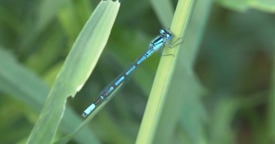 Familiar Bluet, Damselfly Resting on Grass Stem