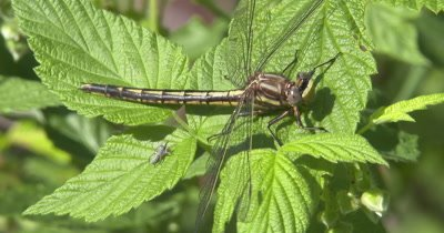Lancet Clubtail Dragonfly Resting on Blackberry Vine, Jumping Spider Near, Turning Circles