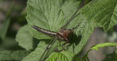 Lancet Clubtail Dragonfly Cleaning Face, Resting on Blackberry Vine, Jumping Spider Behind Wing