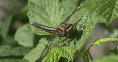 Lancet Clubtail Dragonfly Resting on Blackberry Vine, Jumping Spider In BG Behind Wing