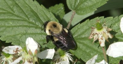 Bumblebee Resting on Blackberry Plant