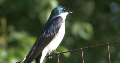 Tree Swallow Perched on Fence, Looking Around.MXF Camera Model