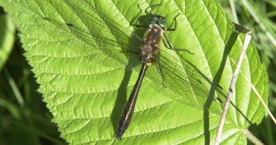 Emerald Dragonfly, Resting on Leaf, Abdomen Showing Breathing, Exits