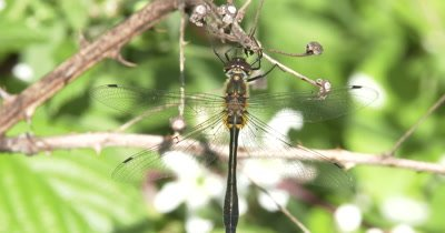 Emerald Dragonfly, Hanging Suspended From Dead Vine ZI to CU