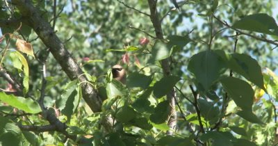 Cedar Waxwing in Apple Tree, Looking Out Over Branches
