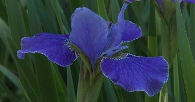 Blue Iris, Fly Grooming on Petal