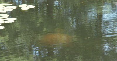 Snapping Turtle Swimming Beneath Water, Lilypads