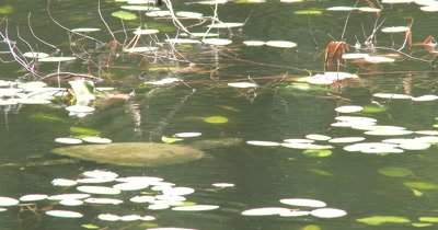Snapping Turtle Swimming Beneath Water, Lilypads, Hunting