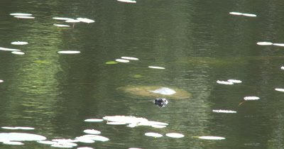 Snapping Turtle Hunting, Pulls Head Beneath Surface of Lake, Looks Beneath Water For Prey