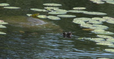 Snapping Turtle Swimming Submerged, Raises Head, Resumes Hunting Beneath Water