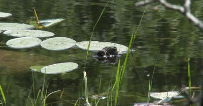 Snapping Turtle Face, Turtle Resting On Surface of Water, Sunlight Sparkling, Shell Beneath Lily Pads