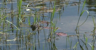Snapping Turtle Hidden in Reeds at Water Edge, Only Face Visible, Blinks