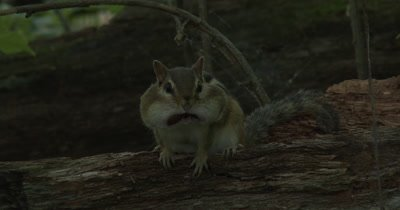 Eastern Chipmunk With Acorns in Cheek Pouches Sitting on Log, ZO to WA