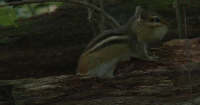 ZI to Eastern Chipmunk With Acorns in Cheek Pouches, Chipmunk Turns, Waits
