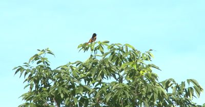 Baltimore Oriole Singing From Top of Cherry Tree, Exits