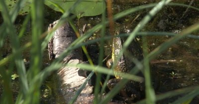 Green Frog Sitting At Edge of Pond