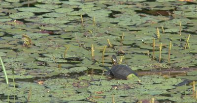 Painted Turtle Resting on Log in Pond, Turns Head Slightly