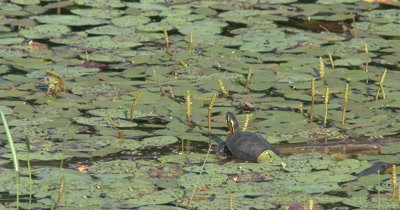 Pond Habitat, ZI to Painted Turtle Resting on Log in Pond