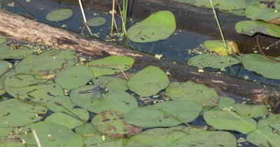 Dot-tailed White-face Dragonfly Sitting on Lily Pad in Pond