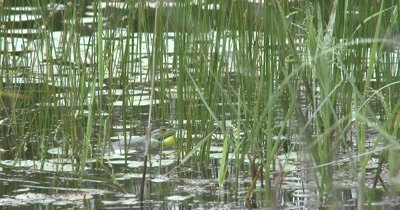 American Bullfrog Sitting In Pond Among Pond Reeds, Calls