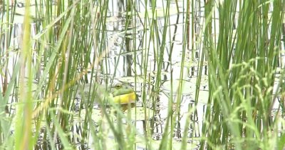American Bullfrog Sitting In Pond Among Pond Reeds, Calling
