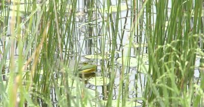 American Bullfrog Sitting In Pond Among Pond Reeds, Calls Once
