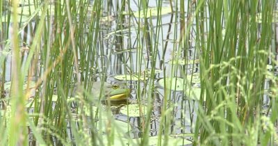 American Bullfrog Sitting In Pond Among Pond Reeds