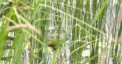 American Bullfrog Facing Camera, Sitting In Pond Among Water Reeds