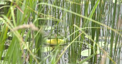 American Bullfrog Facing Camera, Calling From Within Reeds