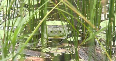 American Bullfrog Facing Camera, Floating in Pond, Reflection of Face in Pond Water