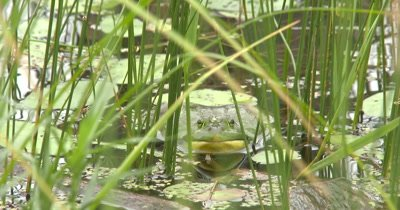 American Bullfrog Sitting In Pond Among Pond Reeds, Turns to Side