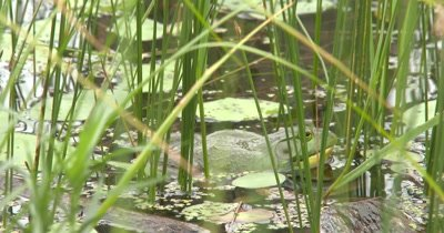 American Bullfrog In Pond, Territorial, Turns Slightly to Side