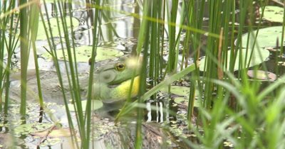 American Bullfrog Calling From Pond, Hidden in Pond Reeds