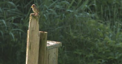 House Wren Comes From Birdhouse, Sits on Top of Post, Sings