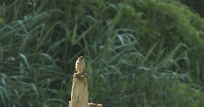 House Wren on Post, Singing, Breath Visible, Exits