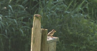 House Wren Calling From Perch By Wren House, Stops in Mid-Call, Looks Around