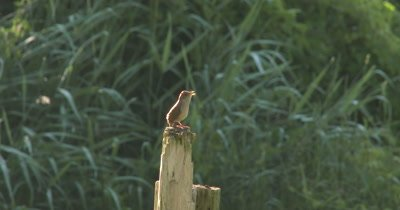 House Wren Calling From Early Morning Perch, Changes to Churring Sound When Female Is Seen