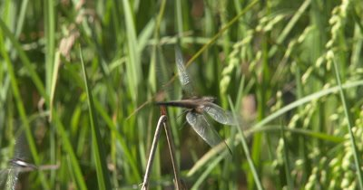 White-faced Dragonfly Perched on Branch, Moving Quickly, Exiting, Entering, Looking Around For Prey
