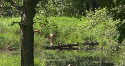 White-tail Deer, Doe and Fawn Near Water's Edge, Fawn in Water, Reflection