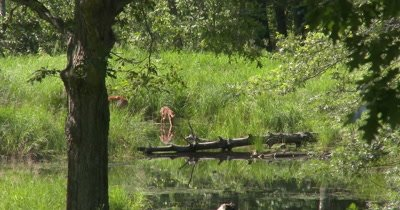 White-tail Deer, Doe and Fawn Near Water's Edge, Fawn Steps Further into Water, Reflection in Water