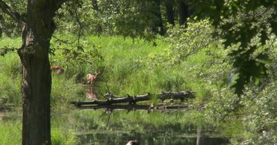 White-tail Deer, Doe and Fawn Near Water's Edge, Fawn Licks Hind Leg, Bird Enters Scene