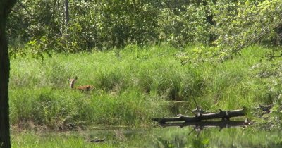 White-tail Deer, Doe and Fawn Near Water's Edge, Fawn Hidden in Tall Grass