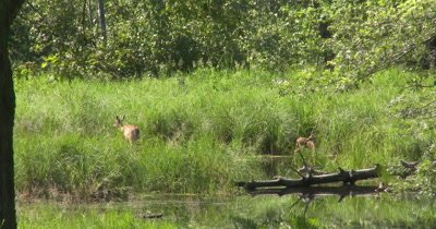 White-tail Deer, Doe and Fawn Near Water's Edge, Doe Disappears into Tall Grass, Fawn Opposite Direction
