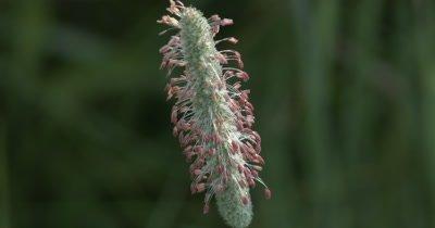 Grass Seed Head, Pink Seeds