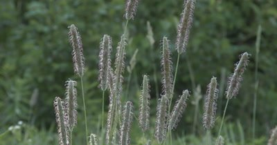 Grass Seeds, Stalk of Seeds in Field